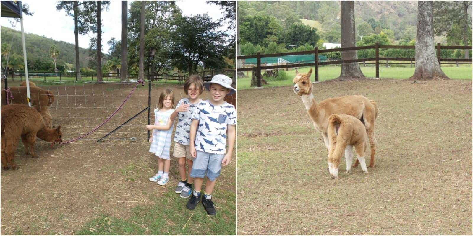 Kids and alpacas at Canungra Valley Vineyard