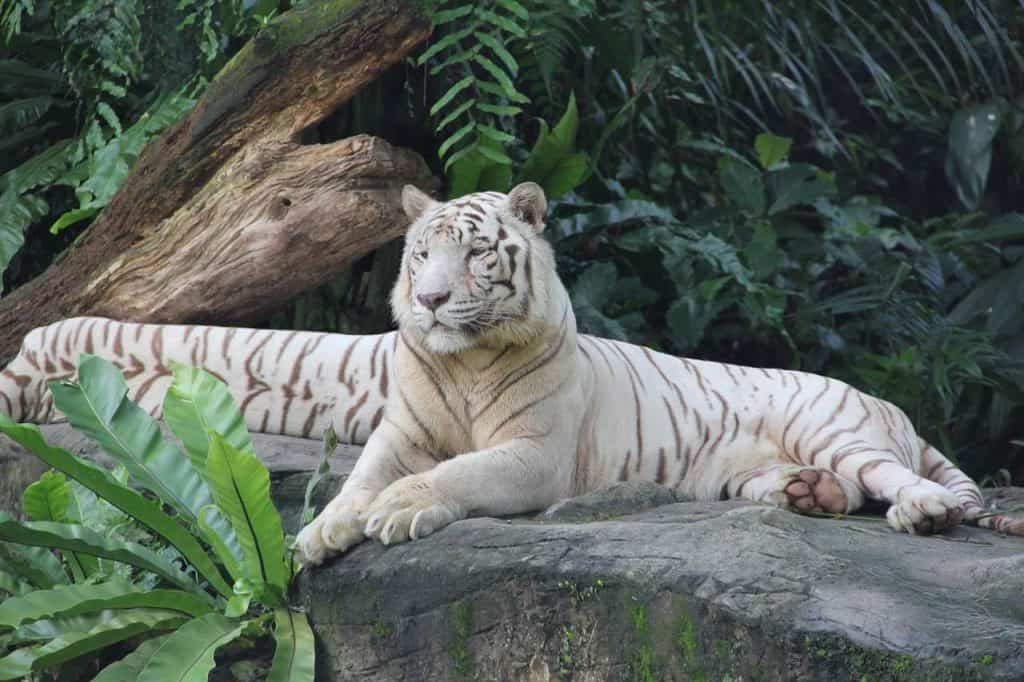 A tiger at Singapore Zoo