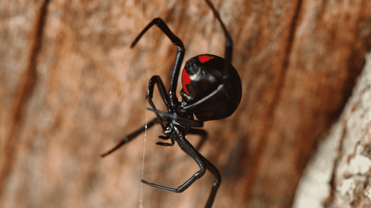 A poisonous red back spider in Australia on a tree
