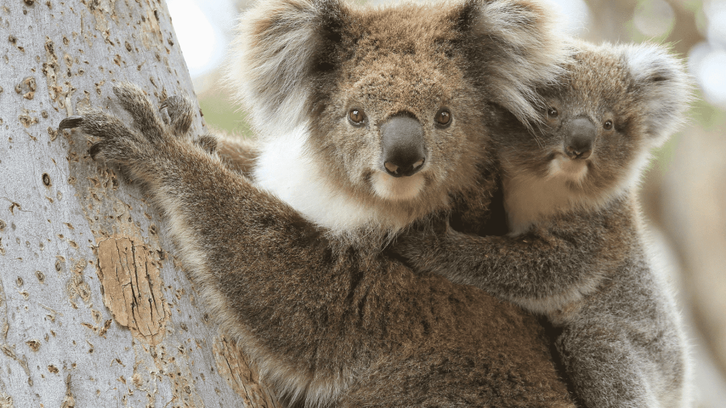 A koala with a baby on its back