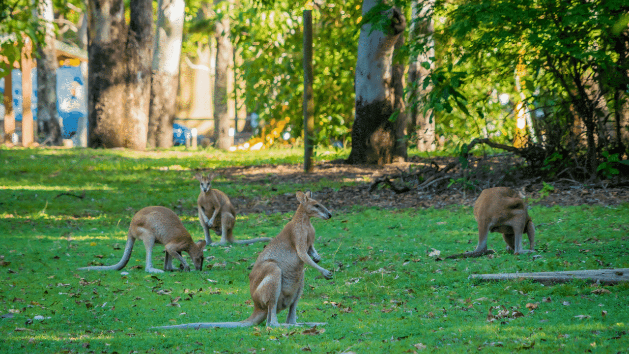 Kangaroos in a field while camping in Australia